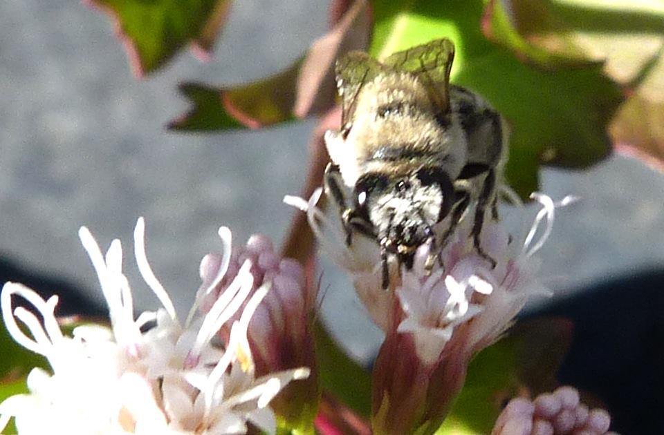 P107DiggerBee278 Nov. 10, 2011  10:31 a.m.  P1070278 Digger Bee at LBJ WC.