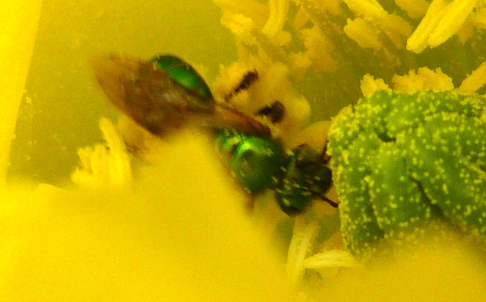 P125GrnSweatBeewBrnEyes639 May 9, 2013  10:58 a.m.  P1250639 This is an unidentified Green Sweat Bee with brown eyes, seen at LBJ WC.