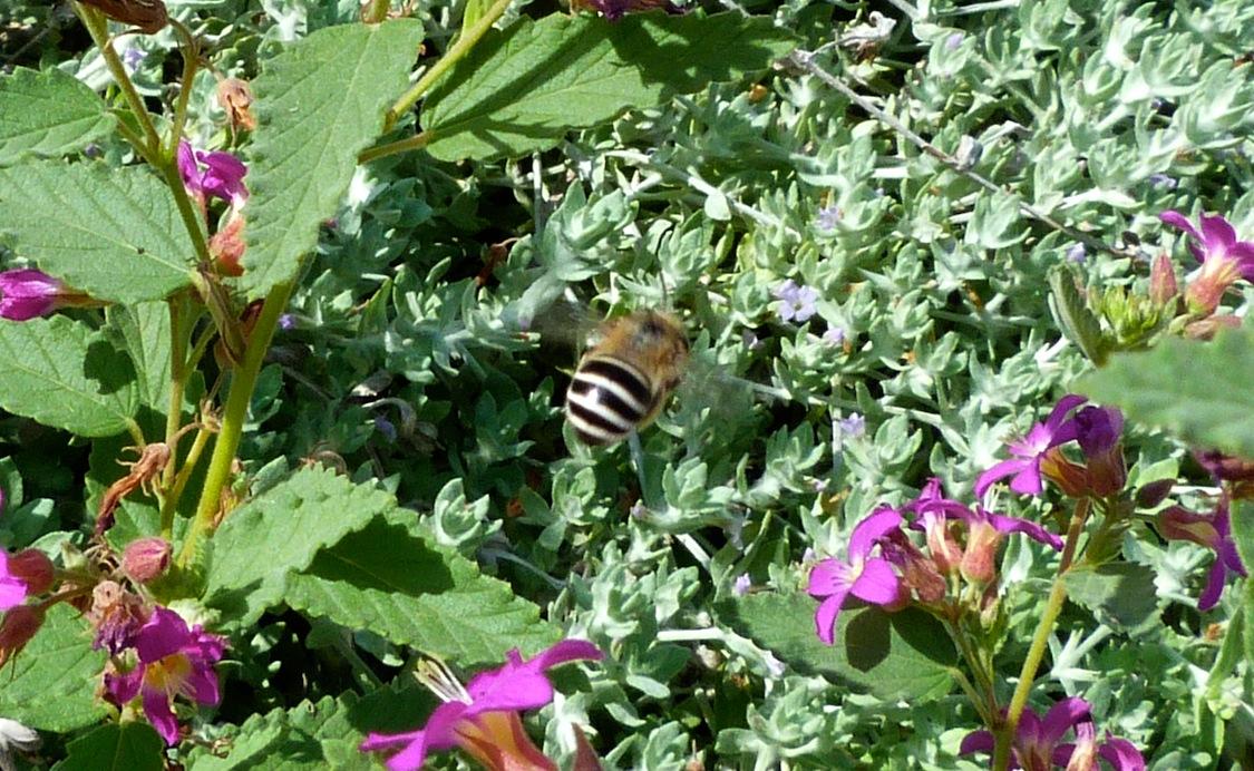P104DiggerBeeTwo-Tone137 July 21, 2011  9:49 a.m.  P1040137 Digger Bee, smaller tan and black bee at LBJ WC.