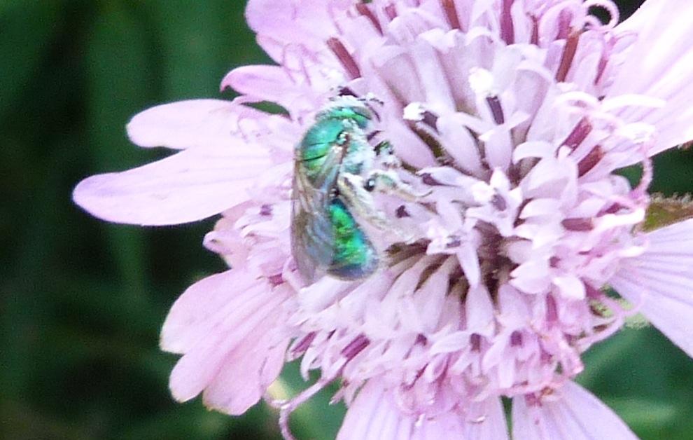 P104GreenSweatBee622 Aug. 4, 2011  9:01 a.m.  P1040622 Green sweat bee at LBJ WC on palofoxia.