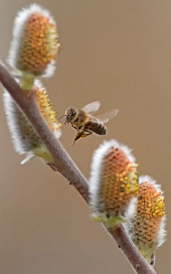 April 5th - Honey Bee on Pussy Willows