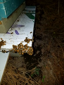 4/28/17 PM - Another cluster of sick bees.  Weather turned cold and winds gusting at 25 mph.