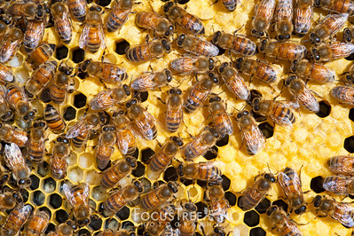 Bees-20