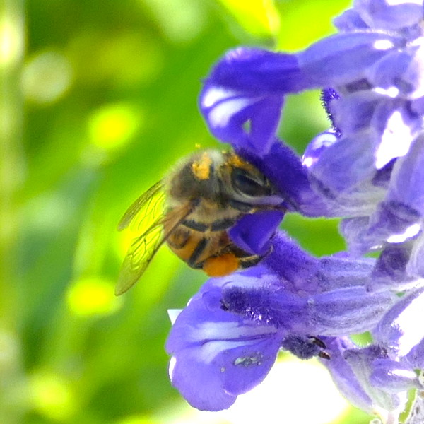 P156ApisMelliferaHBee726 May 5, 2016  8:27 a.m.  P1560726 Here is a Honey Bee, Apis mellifera, gathering pollen and drinking nectar at LBJ WC.  Apid.