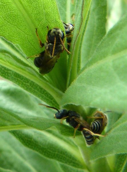 P106MaleHalictusBeesSleeping548 Oct. 6, 2011  10:29 a.m.  P1060548 Male Halictus Bees sleeping in a cluster of leaves.  LBJ WC.