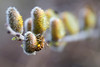 April 5th - The Bee Girls have found the Pussy Willow Pollen