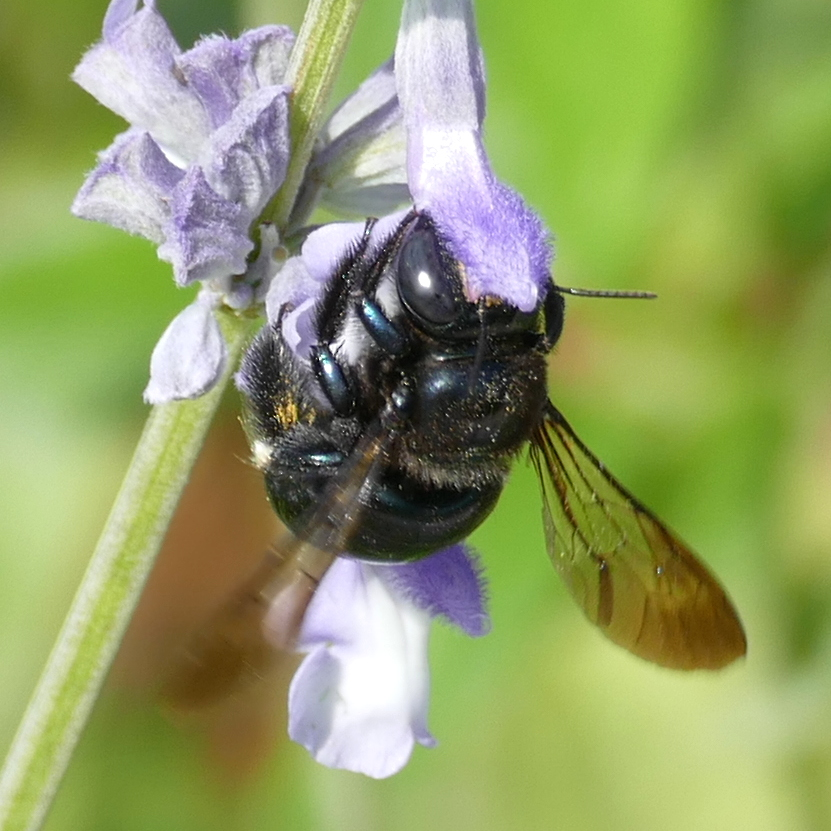 P156XylocopaMicans442 Apr, 28, 2016  9:52 a.m. P1560442 This is Xylocopa micans, the Southern Carpenter Bee, at  LBJ WC.  Apid.