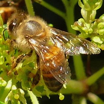 P165ApisMellifera857 April 6, 2017  11:09 a.m.  P11650857 Here is another Honey Bee, Apis mellifera, at LBJ WC.  Apid.