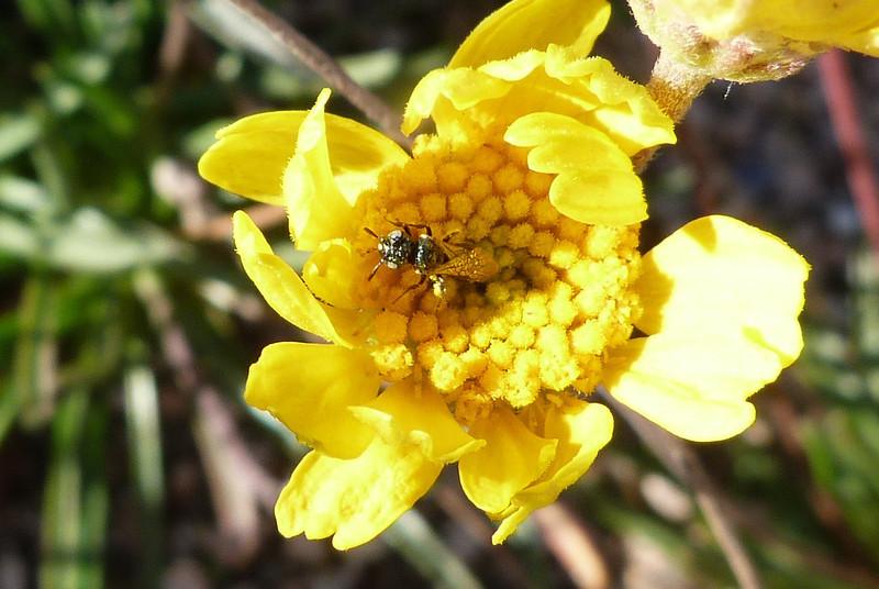 P100CeratinaSpTinyCarptrBeeCROP837 Dec.16, 2010 10:01a.m.  P1000837 Ceratina sp. small carpenter bee Lady BJ Wildflower Ctr fauna survey.  Apid.