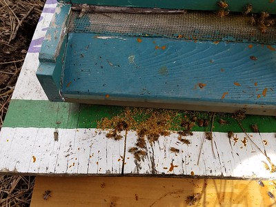 4/28/17 - Pollen dumps suddenly appeared again below entrance.  Bees are eating it.