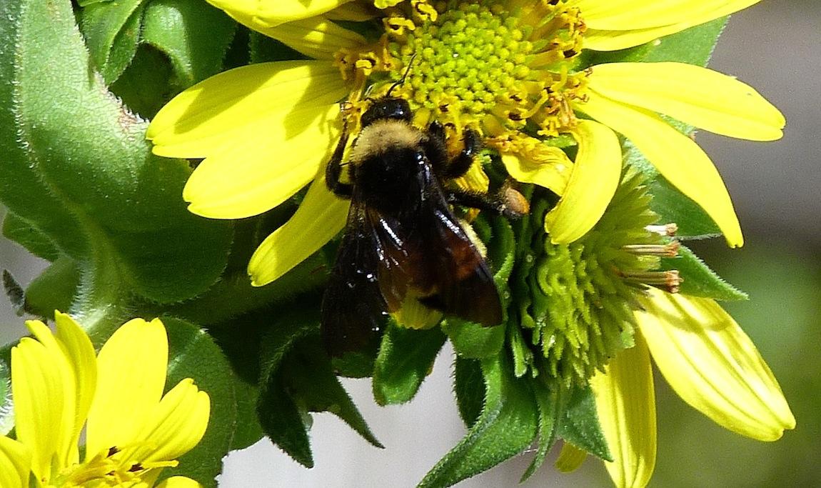 P104AmBumblebee495 July 30, 2011 10:07 a.m.  P1040495 Bombus pensylvanicus, American Bumblebee.  At LBJ WC.  Apid.