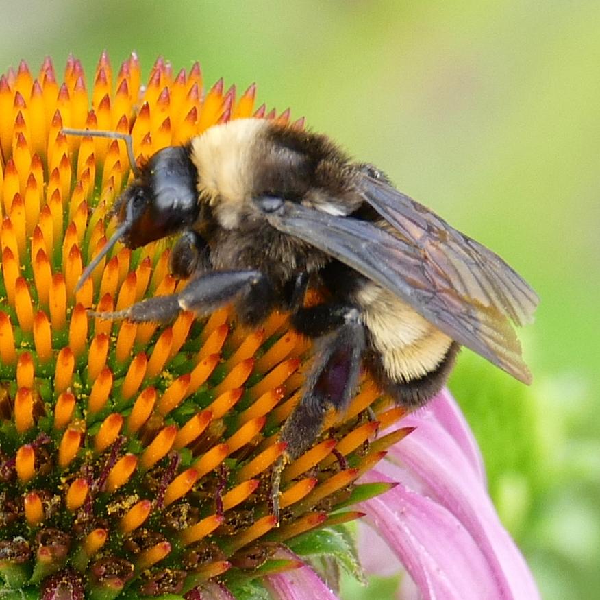 P158BombusPensylvanicus592 July 7, 2016  7:46 a.m.  P1580592 A better look at the Bombus pensylvanicus, American Bumble Bee at LBJ WC.