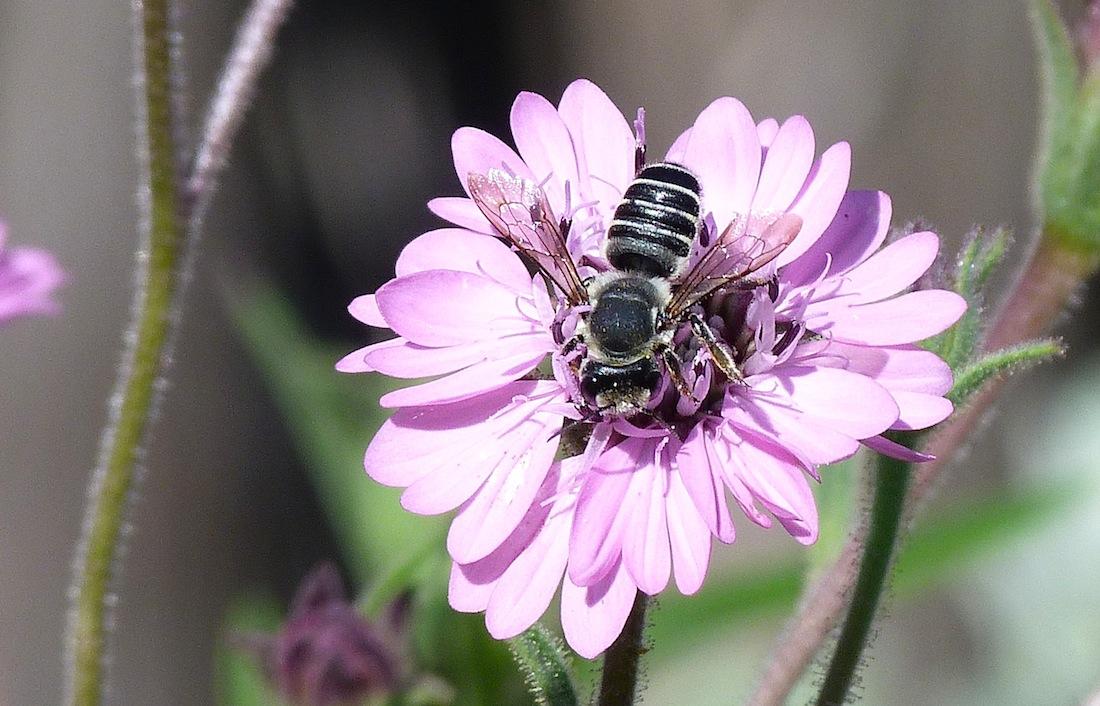 P103MegachileLeafcutterBee979 June 30, 2011  9:23 1.m.  P1030979 A Megachile sp. Leaf-cutter Bee at LBJ WC.