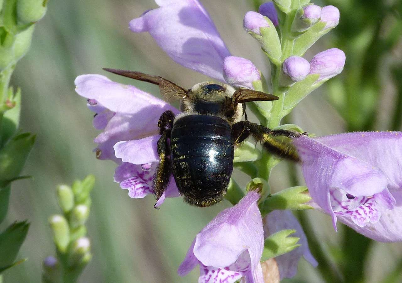 P103ECarpBeeXylocopaVirginica-249 June 2, 2011  9:44 a.m.  P1030249 Eastern Carpenter Bee, Xylocopa virginica, at LBJ WC.  Apid.