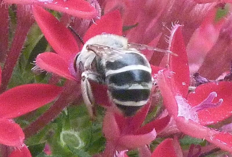 P102MelissodesCommunisLonghornBeeLegs017 Apr. 25, 2011  10:09 a.m.  P1020017 Melissodes Sp. Long-horned Bee at LBJ WC.