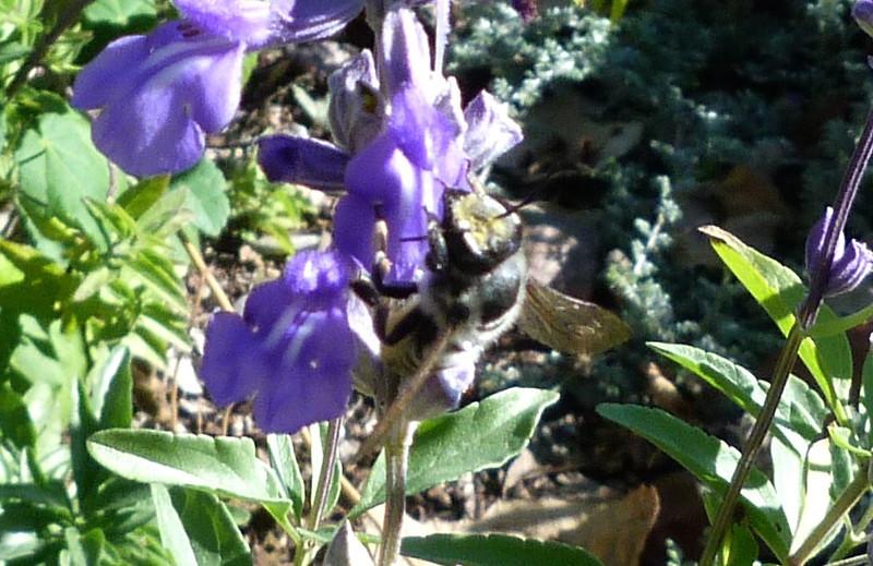 P107MegLeaf-cutterBeeWAbdPollen432 Nov. 17, 2011  10:28 a.m.  P1070432 Megachilid Leaf-cutter Bee shows his face.  LBJ WC.