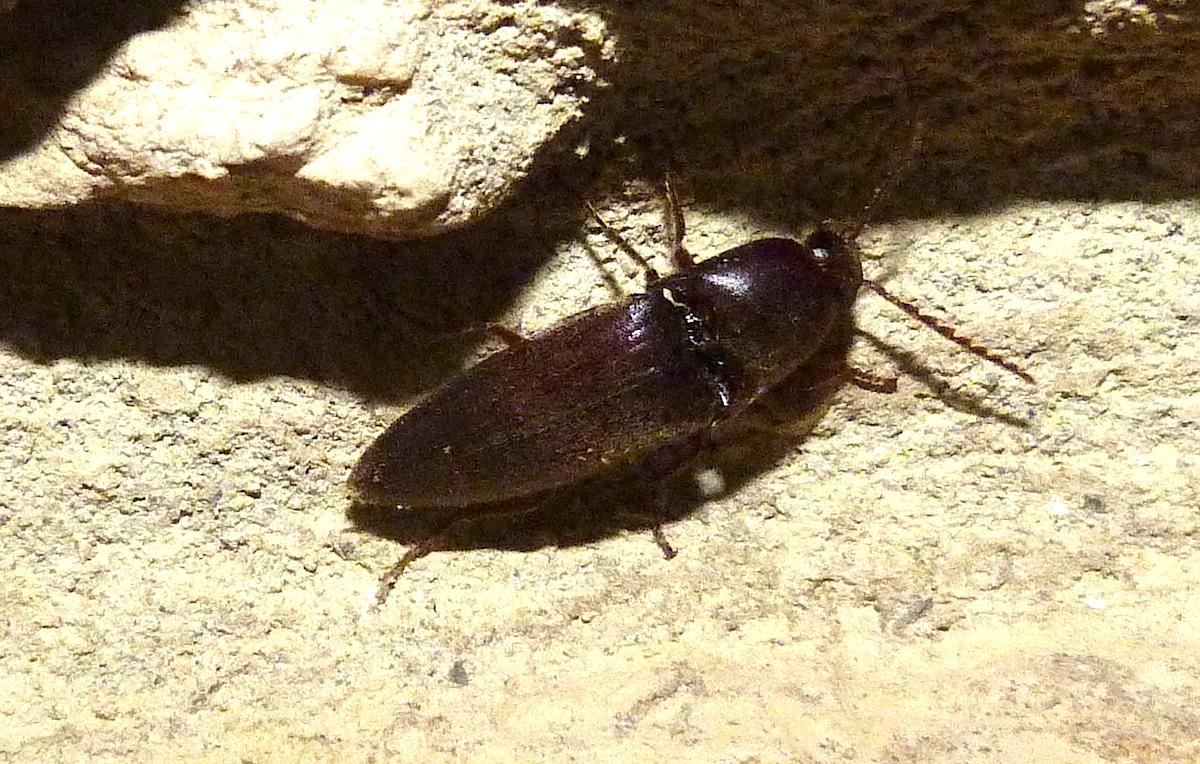 P104ClickBeetle719 Aug. 11, 2011  7:25 a.m.  P1040719 Unidentified click beetle at LBJ WC.