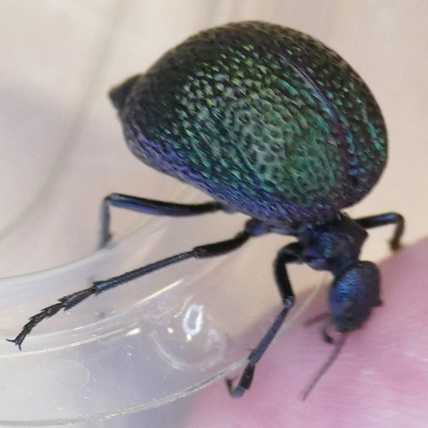 P177CysteodemusWislizeni-fromCandelaria319 Oct. 5, 2018  9:25 a.m. P1770319 VB brought to class from her Candelaria trip.  This is in a blister beetle family genus called Desert Spider Beetles, Cysteodemus wislizeni, the Black Bladder-bodied Meloid from the Chihuahuan Desert.  The other member of this genus lives in Mojave Desert areas.   Meloid.