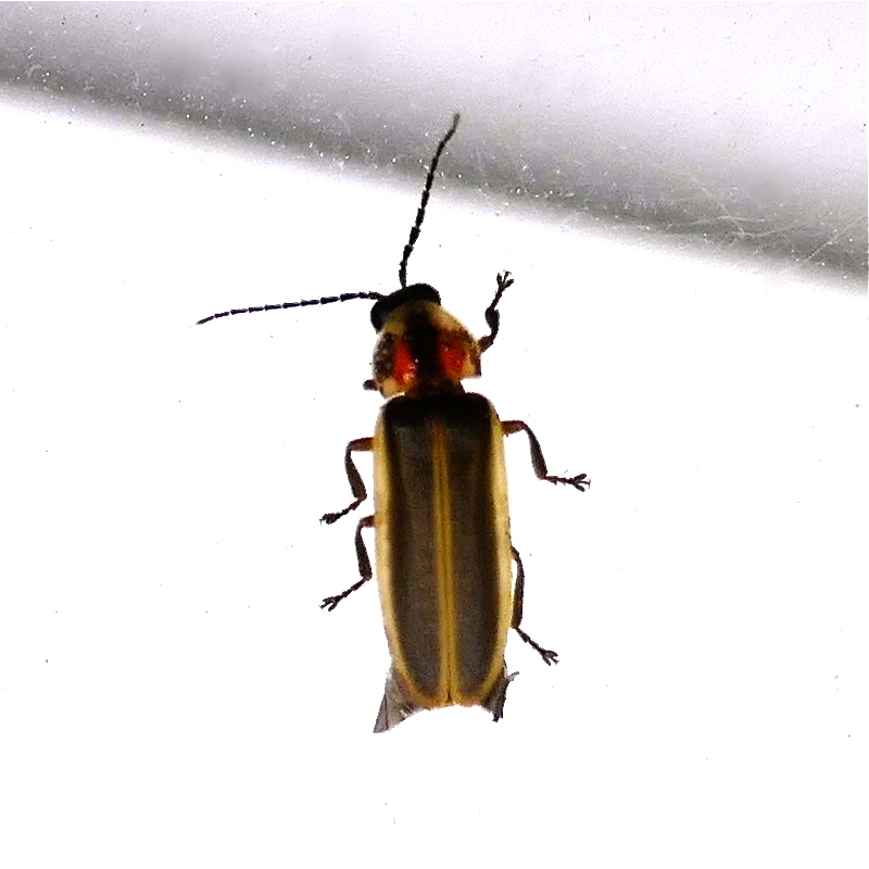"P146PhotinusSpEd564 May 21, 2015  6:50 a.m.  P1460564 This looks like what I grew up calling ""Lightning Bug.""  It is a Photinus species.  Seen at LBJ WC on a light fixture."