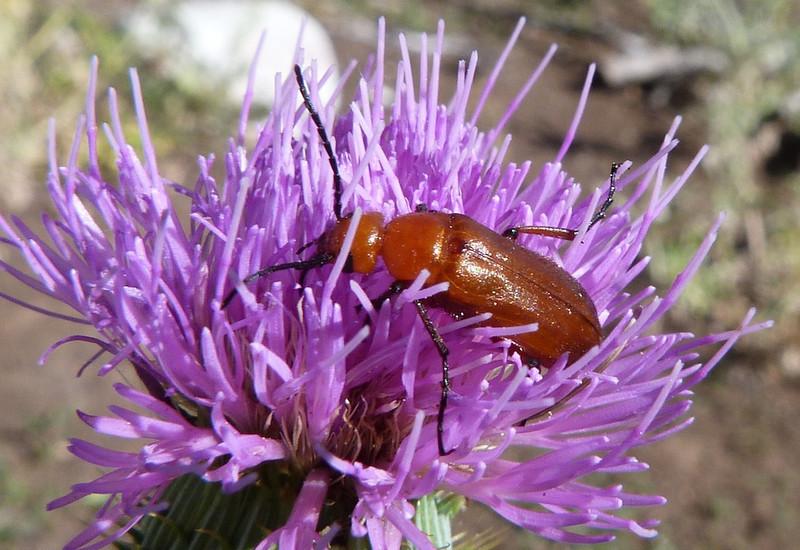 P102NemognathaBlisterBeetle198 Apr. 28, 2011  10:18 a.m.  P1020198 Nemognatha Blister Beetle at LBJ WC.