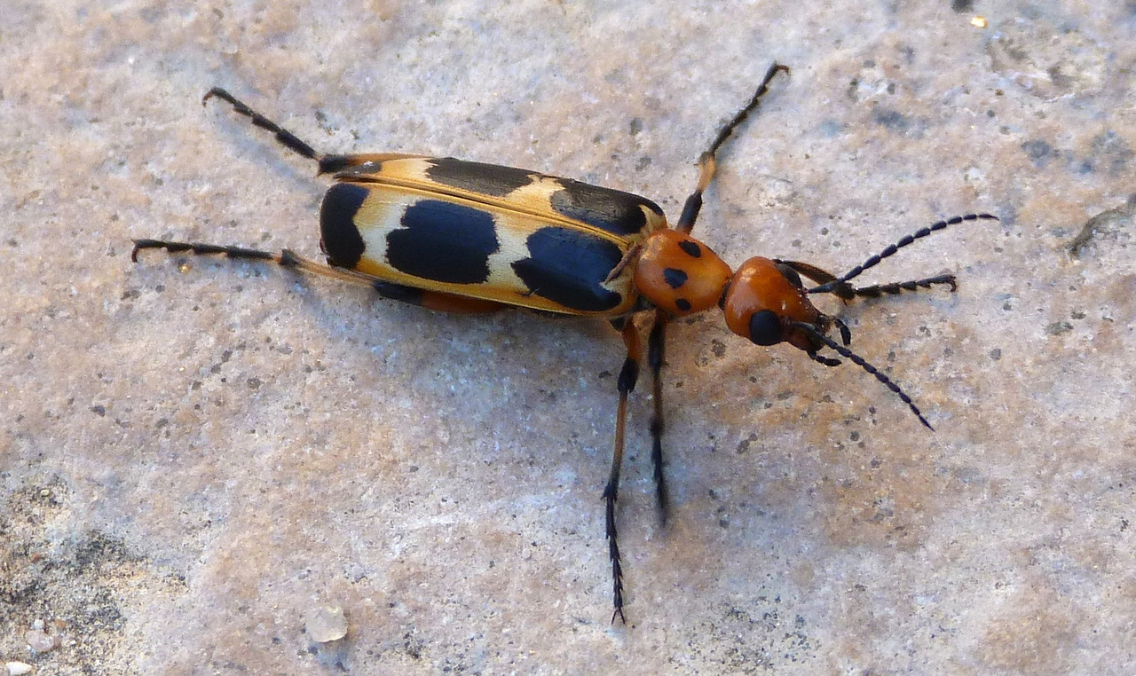 P129PyrotaDeceptivaBlisterBeetle482 Sep. 26, 2013  8:49 a.m.  P1290482 This pretty beetle is Pyrota deceptiva, a Blister Beetle, at Lady Bird Johnson Wildflower Center.