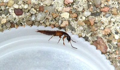 P136PhilonthusSp815 June 12, 2014  7:45 a.m.  P1360815 Side view of the Philonthus species Rove Beetle at LBJ Wildflower Center.