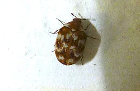 P113AnthrenusVerbasciVariedCarpetBtl2.5mm452 June 24, 2012  8:58 a.m.  P1130452 Another look at the carpet beetle at 2601, far from any carpet.