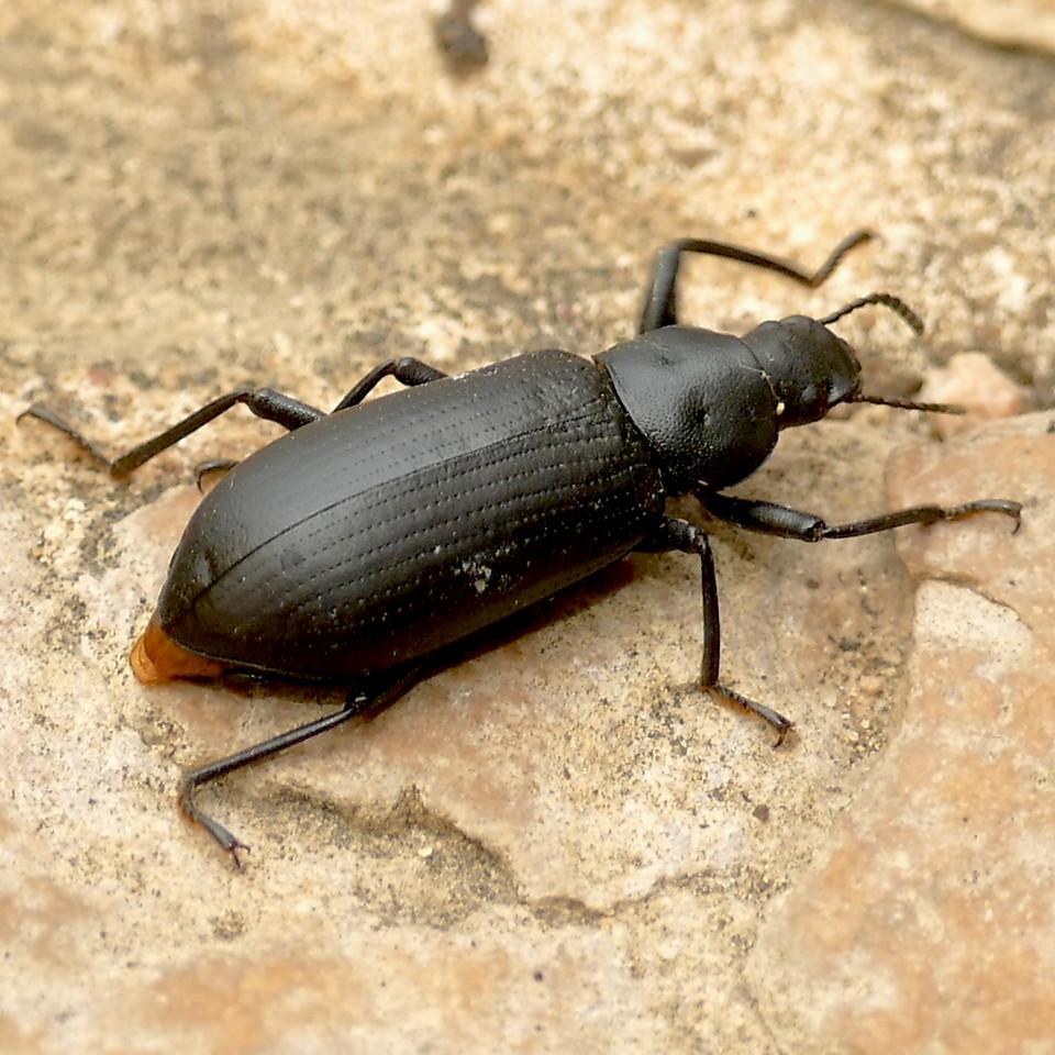P168AlobatesPenylvanica371 June 22, 2017 7:03 a.m. P1680371 This is the False Mealworm Beetle, Alobates pensylvanica. Seen at LBJ WC.  tenebrionid.