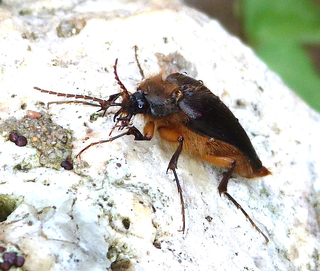 P141ScaptolenusSpRainClickBBest044 Nov. 6, 2014  8:16 a.m. Side view of the Scaptolenus species male Rain Click Beetle, at LBJ Wildflower Center.