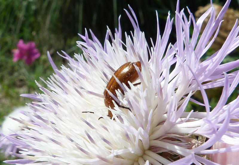 P103NemognathaSpBlisterBeetle305 June 2, 2011  10:44 a.m.  P1030305 Nemognatha species Blister Beetle at BJ WC.
