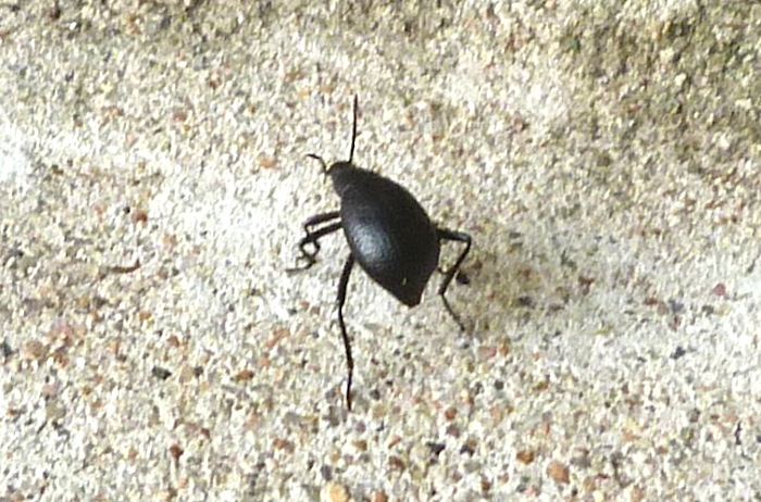 P104DarklingBeetleEleodesGoryi750 Aug. 11, 2011   8:00 a.m.  P1040750 Darkling Beetle, Eleodes goryi, at LBJ WC.