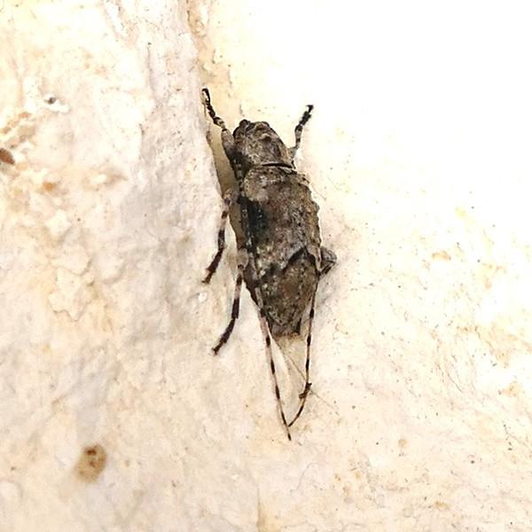 P145SternidiusMimeticusMoreK997 May 7, 2015  6:53 a.m.  P1450997 More of a side view of Sternidius mimeticus Long horn Beetle at LBJ WC.