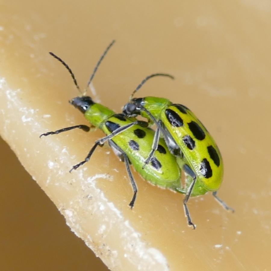 P152DiabroticaUndecimpunctata889 Nov. 19, 2015  8:02 a.m.  P1520889 A pair of mating Diabrotica undecimpunctata, Cucumber Beetles, decorate the Christmas luminaria at LBJ WC.  Chrysomelid.