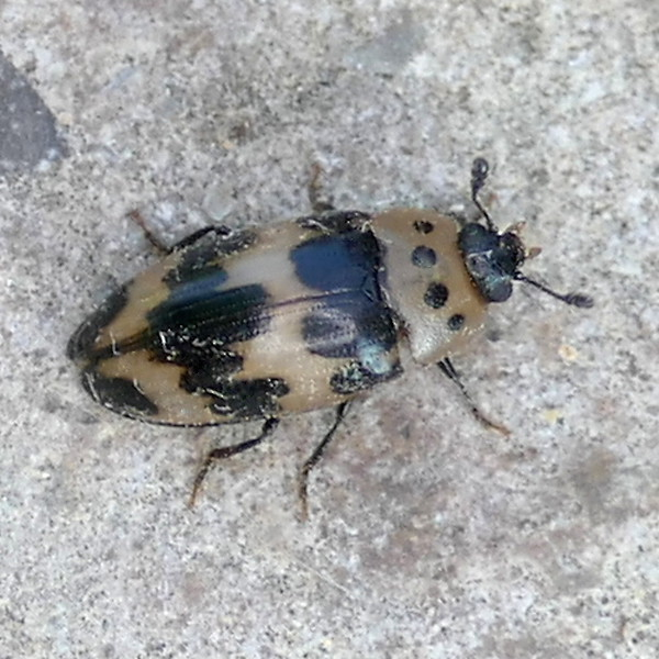 P157IschyrusQuadripunctatusEd903 June 9, 2016  7:53 a.m.  P1570903 This is the Four-spotted Fungus Beetle, Ischyrus quadripunctatus.  I thought it was a scarab so couldn't find it, but no, it's an Erotylid.