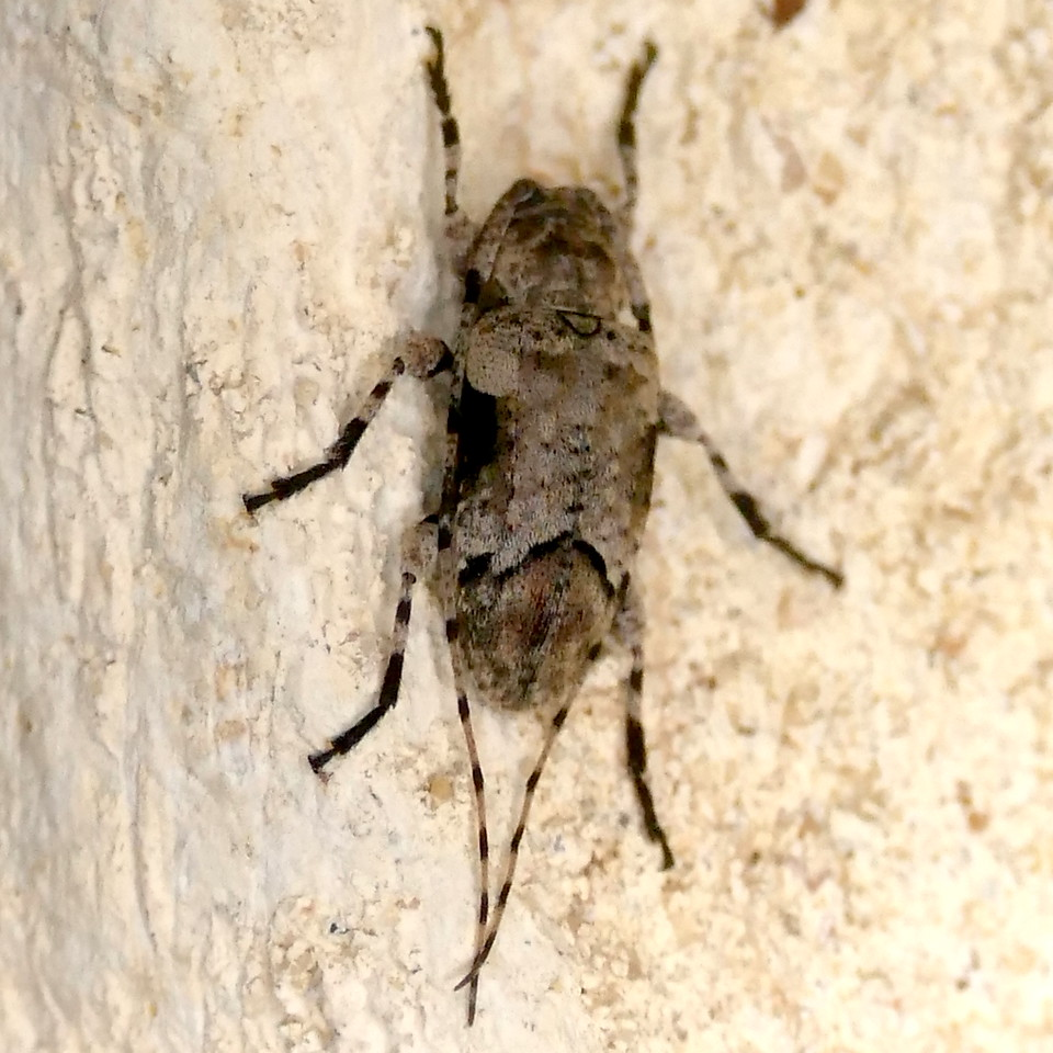 P168SternidiusMimeticus-Cerambycid205 June 15, 2017  7:46 a.m.  P1680205 This Long-horned Beetle is Sternidius mimeticus, on a wall at LBJ WC.  Cerambycid.