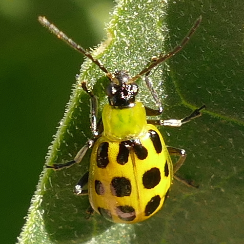 P165DiabroticaUndecimpunctataSpCuBtl817 Apr. 6, 2017  10:15 a.m.  P1650 This is a Spotted Cucumber Beetle, Diabrotica undecimpunctata, at LBJ WC.  Chrysomelid.