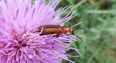 P125NemognathaSpBlisterBeetle060 Apr. 30, 2013  12:00 a.m.  P1250060 Another look at the Nemognatha species Blister Beetle at LBJ WC.