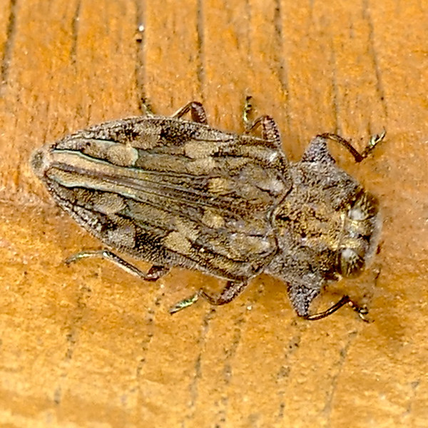 P166ChrysobothrisDentipesMbe-Bup425 Apr. 20, 2017  8:33 a.m.  P1660425 Although Chrysobothris dentipes is widespread in the U.S., it eats pines, so may not be the right guy here.  At least it is a Chrysobothris sp.  Seen at LBJ WC.  Buprestid.