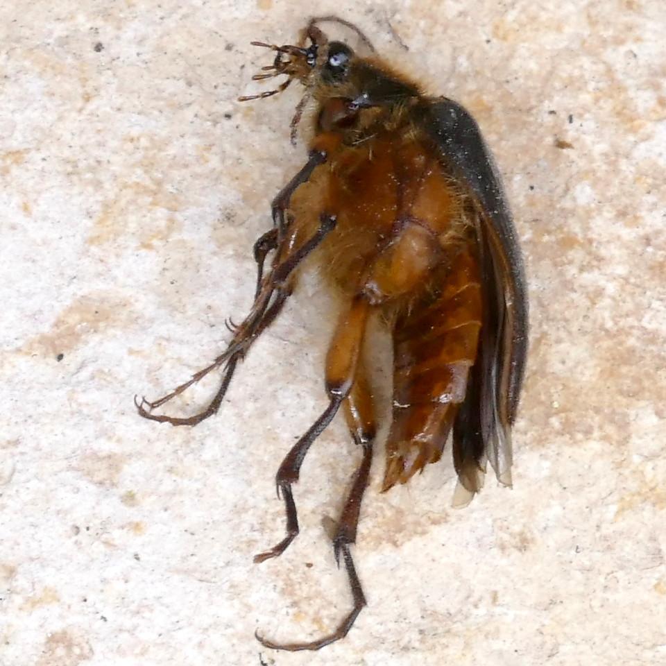 P162ScaptolenusSpRainClickBtl-dead829 Nov. 10, 2016  8:41 a.m.  P1620829 Not sure this is enough to help recognize the next Scaptolenus species Rain Click Beetle!  But see next.  Seen at LBJ WC.