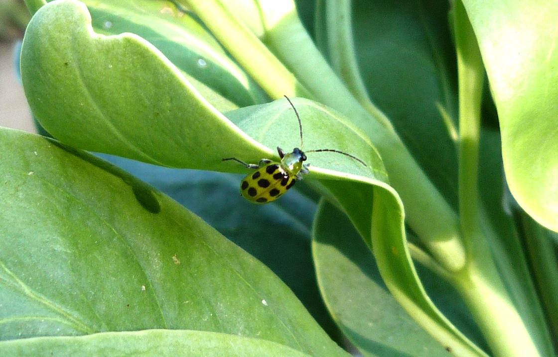 P105SpCucBtlDiabroticaUndecimpunctata601 Sept. 8, 2011  9:11 a.m.  P1050601 Spotted Cucumber Beetle, Diabrotica undecimpunctata, at LBJ WC.  Chrysomelid.