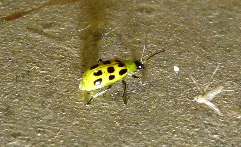 P118SpottedCucumberBtlDiabroticaUndecimpunctata568 Oct. 24, 2012  10:13 a.m.  P1180568 Another view of the same Spotted Cucumber Beetle, Diabrotica undecimpunctata, appears very yellow except for the very green collar, set off, of coufse, by black spots, legs and head.  Chrysomelid.