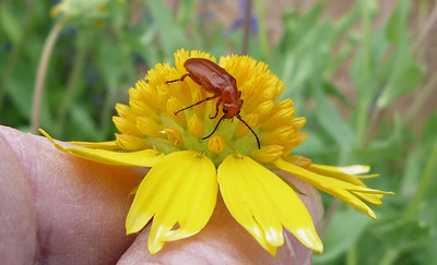 P124NemognathaSpBlisterBeetle840 Apr. 25, 2013  11:03 a.m.  P1240840 Here is a Nemognatha species Blister Beetle at LBJ Wildflower Center.