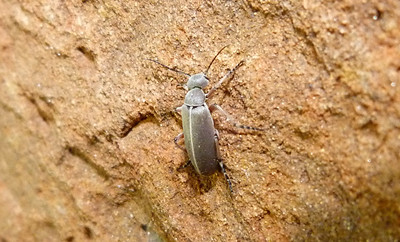 P116EpicautaNigritarsisBlisterBtl266 Sept. 6, 2012  7:18 a.m.  P1160266 This is a Blister Beetle, Epicauta nigritarsis, at LBJ WC.