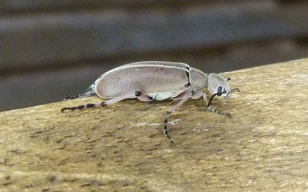 P135EpicautaNigritarsisBlisterBtl821 May 15, 2014  7:07 a.m.  P1350821 Side view of the Epicauta nigritarsis Blister Beetle on a bench in the breezeway at LBJ WC.