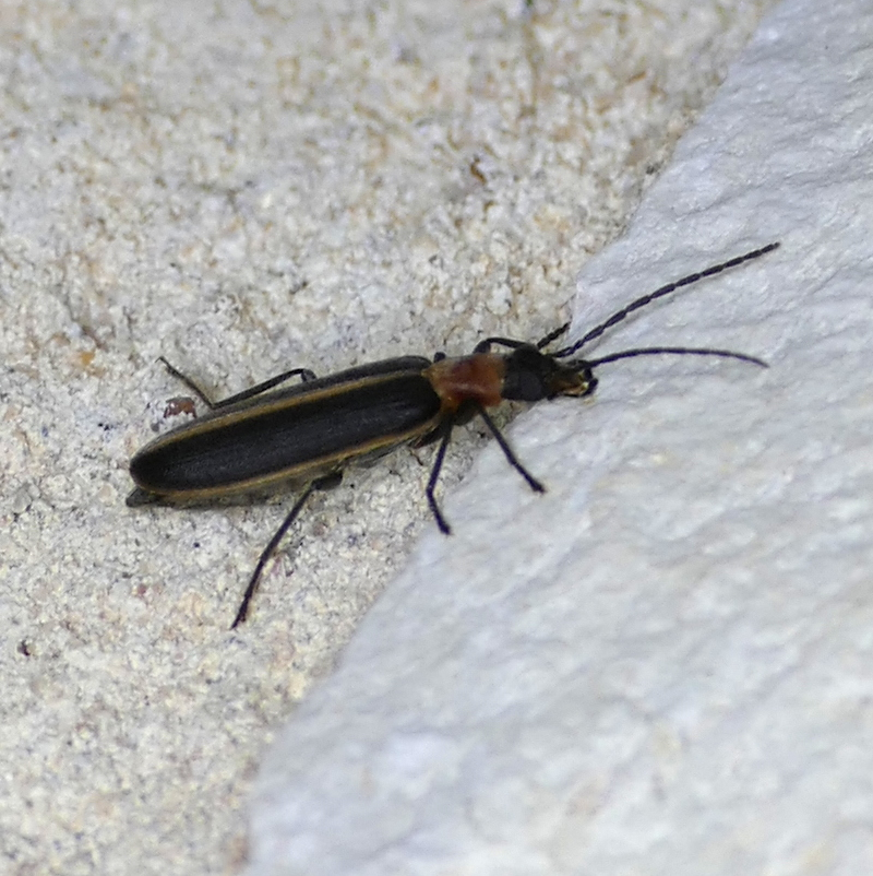 "P157OxacisCana272 May 26, 2016  7:46 a.m.  P1570272 This resembles Photinus species ""Lightning Bugs"" or fireflies, but it's Oxacis cana, a False Blister Beetle.  Oedemerid.  Seen at LBJ WC."