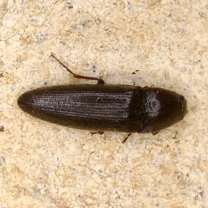 P167MelanotusSp-SmallClickBeetle042 May 11, 2017  7:36 a.m.  P1670042 This small click beetle shows a hairy surface in better lighting.  Elaterid.