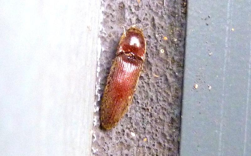 P103ClickBeetleDipropusSp_862 June 25, 2011  8:38 a.m.  P1030862 Click beetle in Dipropus species at LBJ WC.