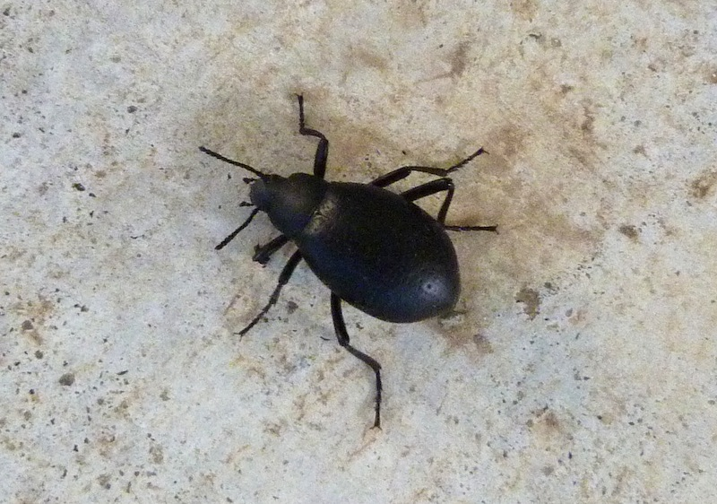 P103DarklingBeetleEleodesGoryi039 May 26, 2011  9:25 a.m.  P1030039 Darkling Beetle, Eleodes goryi, at LBJ WC.