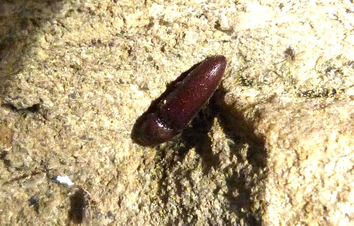 P114UnidSmallClickBeetle552 July 26, 2012  7:29 a.m.  P1140551 Here is an unidentified small click beetle at LBJ WC.