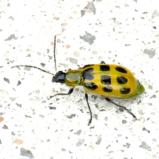 P163DiabroticaUndecimpunctataSptdCucumberBtl096 Nov. 17, 2016  8:20 a.m.  P1630096 This Spotted Cucumber Beetle, Diabrotica undecimpunctata,seemed more golden than most of my photos.  Seen at LBJ WC.  Chrysomelid.